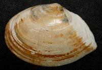 Macoma hokkaidoensis Amano et Lutaenko, 1999 (Tellinidae)