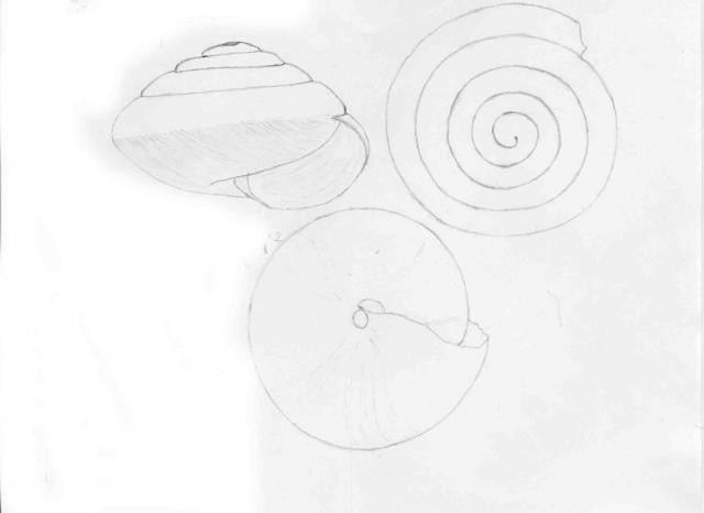 Euconulus sp.