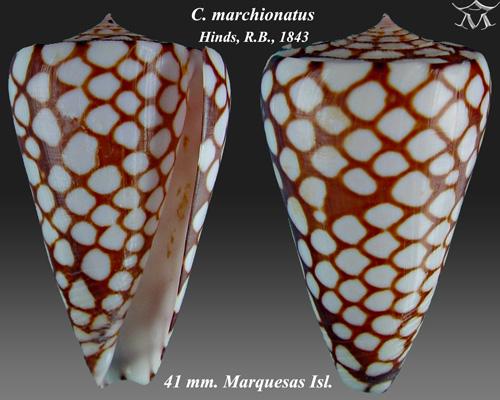 Conus marchionatus