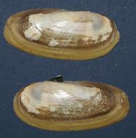 Siliqua alta (Broderip et Sowerby) (Pharidae)