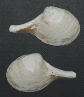 Cuspidaria japonica